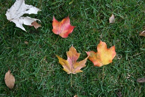 100_0036_Leaves_On_Grass.jpg
