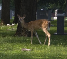 308-7088 Graceland Cemetery Sioux City Iowa: Deer