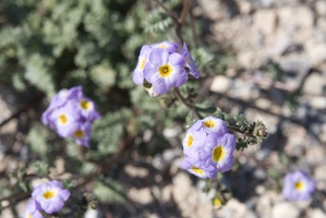 310-2270-Death-Valley-Wildflowers.jpg