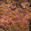 315-0674 Foliage in Harvard Yard.jpg