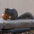 314-8916 Squirrel Eating a Tomato.jpg