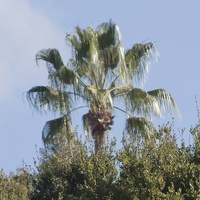 317-4577 CGM Park - Palm Above the Trees