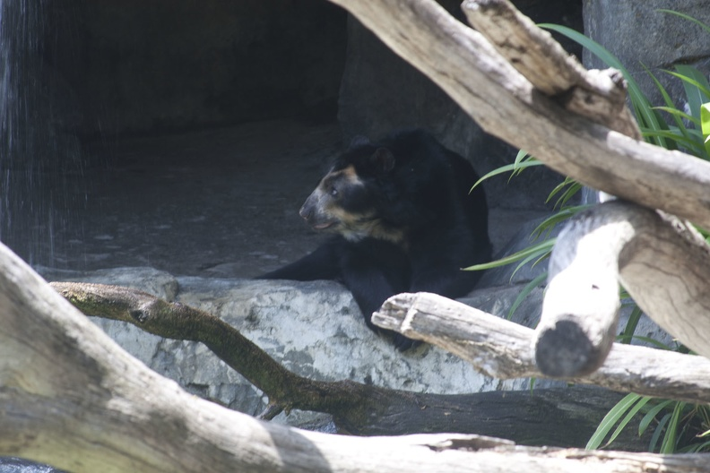 316-4888 San Diego Zoo - Spectacled Bear.jpg