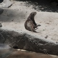 316-4926 San Diego Zoo - Cape Clawless Otter