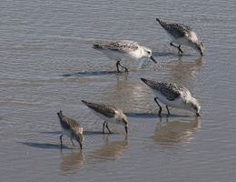 320-1544 Ogunquit ME Shore Birds