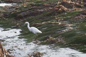 320-5599 Snowy Egret at Cabrillo at Low Tide