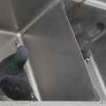 321-1063 Pacific Beach - Pigeons in Sink