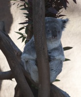 321-2099 San Diego Zoo - Queensland Koala