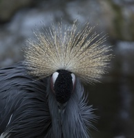 402-3663 Safari Park - West African Crowned Crane