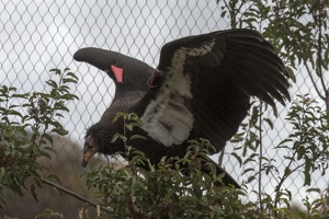 402-4833 Safari Park - California Condor