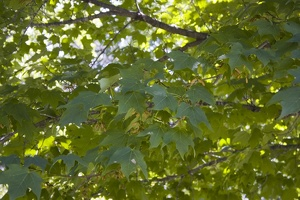 106_1454_Canada_Sugar_Maple.jpg