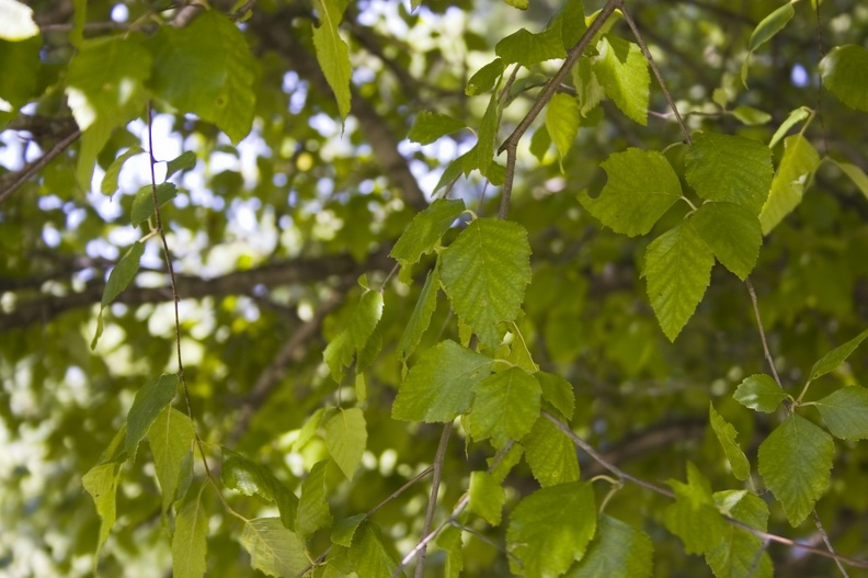 106_1492_New_Hampshire_Paper_Birch.jpg