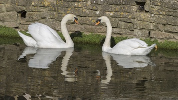 404-3856 Castle Combe Swans