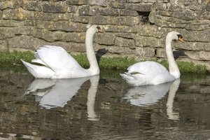 404-3861 Castle Combe Swans