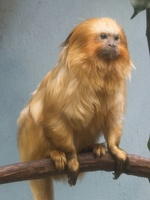 403-2564 Madison - Henry Vilas Zoo - Golden Lion Tamarin