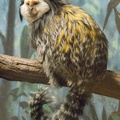 403-2689 Madison - Henry Vilas Zoo - Geoffroy's Marmoset