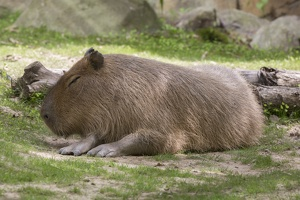 403-2706 Madison - Henry Vilas Zoo - Capybara