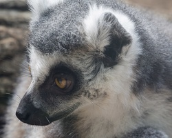 403-2740 Madison - Henry Vilas Zoo - Ring Tailed Lemur