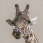 403-2774 Madison - Henry Vilas Zoo - Reticulated Giraffe
