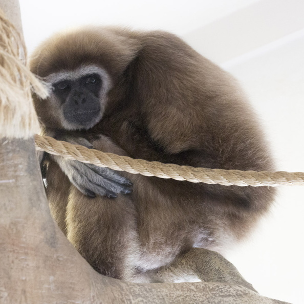 403-2905 Madison - Henry Vilas Zoo - White Handed Gibbon.jpg
