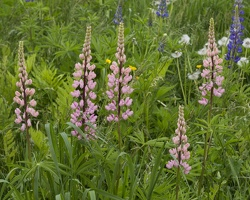 403-4970 Sugar Hill Lupines