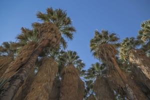 406-9890 - Palm Canyon Trail - Oasis California Fan Palms