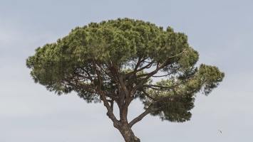 407-6138 IT - Roma - Umbrella Pine