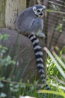 408-8760 Safari Park - Lemur