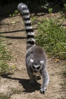 408-8780 Safari Park - Lemur