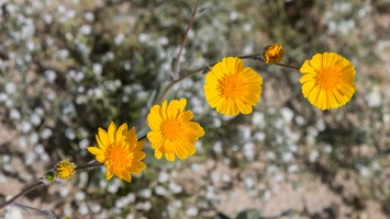 409-6932 Anza-Borrego - Wildflowers