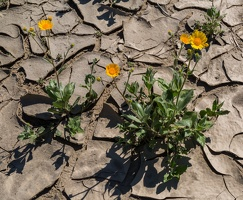 409-7157 Anza-Borrego - Wildflowers