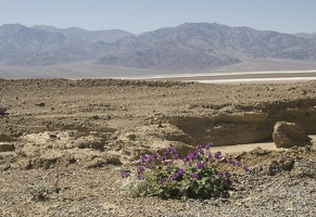 310-2906-Death-Valley-Wildflowers.jpg