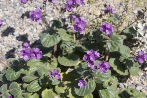 310-2919-Death-Valley-Wildflowers.jpg