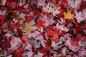 100_0359_Fall_Carpet.jpg