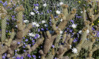 409-6140 Anza-Borrego - Wildflowers