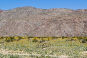 409-6896 Anza-Borrego - Wildflowers