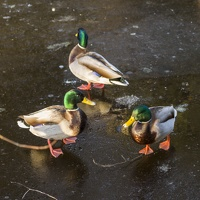 409-3528 Ducks on Ice